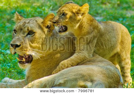 Lion and its cubs