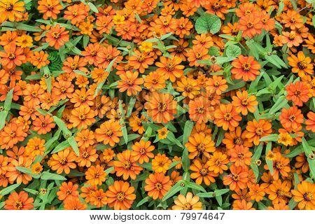 Close Up Zinnia Orange Flower Background