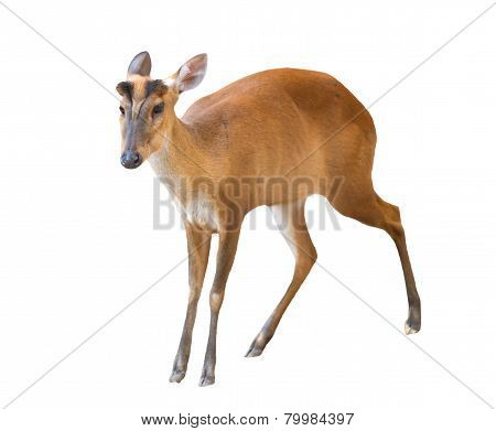 Barking Deer Isolated