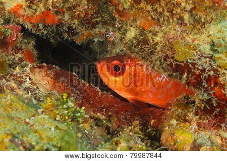 Glasseye Snapper Hiding In A Coral Reef - Roatan, Honduras