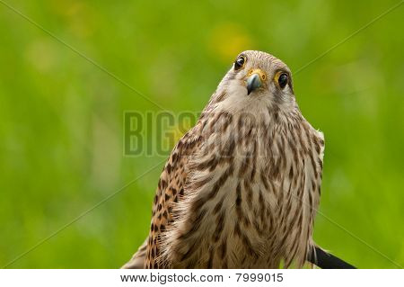 Falcon Wondering On The Photographer