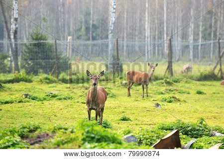 Roe-deer In Field
