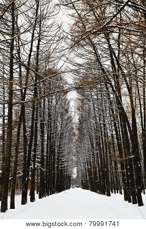 Larch Alley With Ski Tracks In Snowy Forest