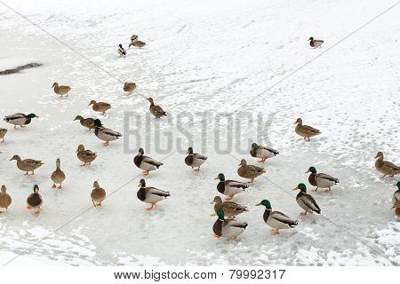 Flock Of Ducks On Ice In Frozen River