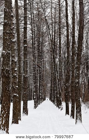 Larch Alley In Snowy Forest