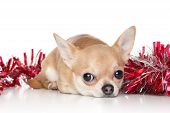picture of chiwawa  - Chihuahua dog lying in red garlands on a white background - JPG