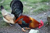 stock photo of hen house  - big with the Red Crest and the hen on the rural farm - JPG
