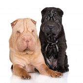 image of shar pei  - adult shar pei dog with a black puppy - JPG
