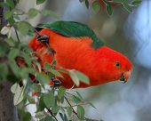 stock photo of king parrot  - Australian King Parrot  - JPG