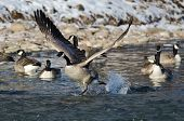 stock photo of snow goose  - Canada Goose Taking Off From a Winter River - JPG