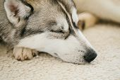 stock photo of husky  - Gray Adult Siberian Husky Dog Sibirsky husky sleeping in his bed - JPG