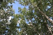 picture of apex  - Apexes of birch on a background sky - JPG