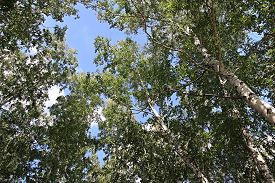 pic of apex  - Apexes of birch on a background sky - JPG