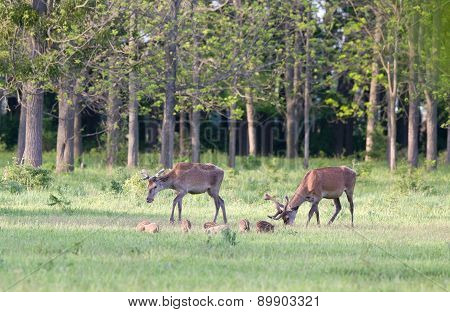 Red Deer And Piglets