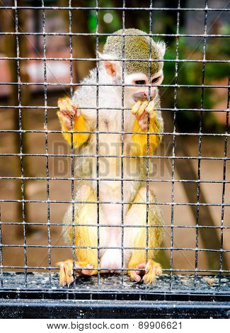 Squirrel Monkey In A Cage