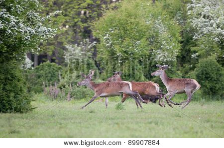 Red Deer Running