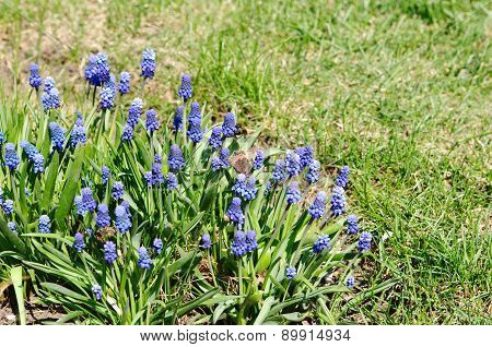 Flower Bed With Muscari Armenian (lat.muscari Armeniacum)