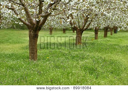 Spring cherry blossom trees in green field