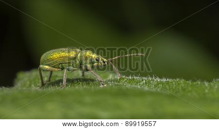 The Nettle Weevil