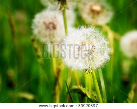 Dandelion blowballs. Close-up of the round balls of silver tufted fruits of Taraxacum officinale.