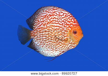 Checkerboard Discus Fish