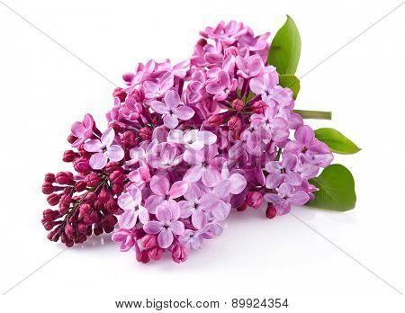 Purple lilac with leaves (Syringa vulgaris)