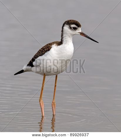 Black-necked Stilt - juvenile