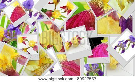Purple And Yellow Iris Flowers Photo Collage