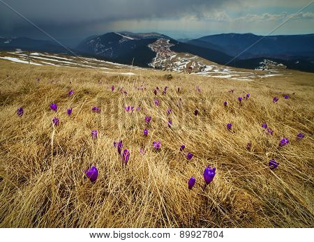 Crocus Flowers On A Meadow At Mountain