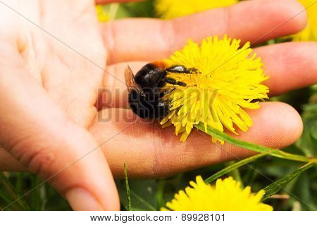 Dandelion Flower And A Bumblebee In A Palm