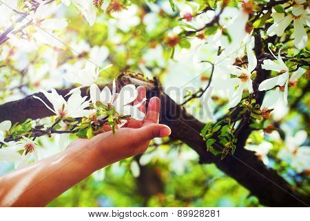 .adoring The Spring Magnolia Flowers On A Tree, In Sun Light. Flower In Woman Han.