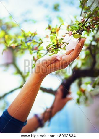 Adoring The Spring Magnolia Flowers On A Tree, In Sun Light. Flower In Woman Han