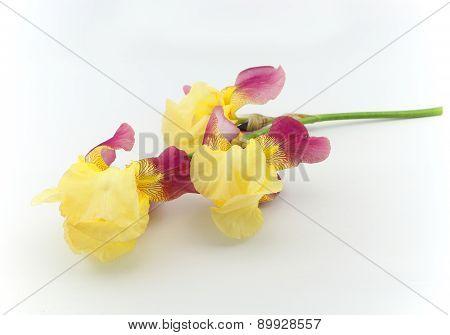 Yellow Iris Flowers Isolated On White Background