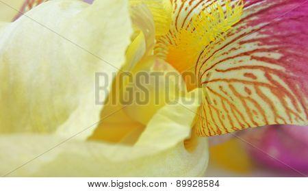 Yellow Iris Flower Petals Closeup