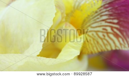 Yellow Iris Flower Petals Closeup
