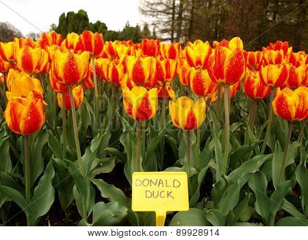The unique variety of tulips.