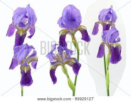 Purple Iris Flowers Isolated On White Background