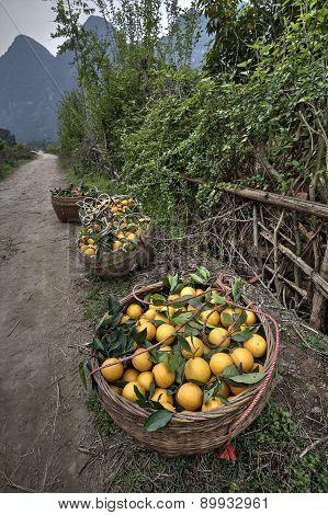 Wicker Basket Filled Harvest Oranges, Guangxi Province, Southwest China, Spring.