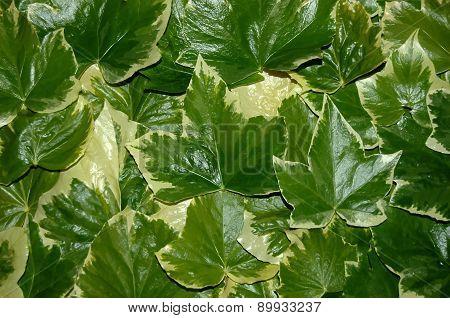 Ivy Leaf Texture