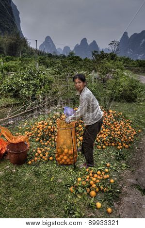 Asian Woman Packs Freshly Picked Fruit Harvest In Orange Garden.