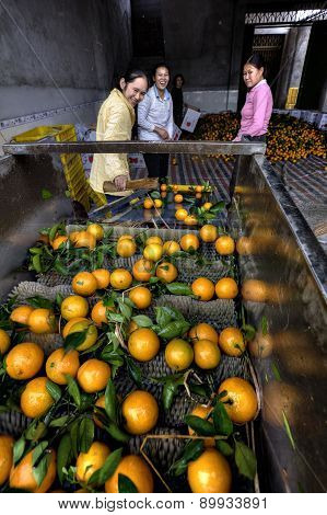 Lots Of Oranges On A Conveyor Belt, Women Sorted Harvest.