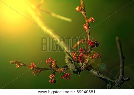 Spring Cherry Bud In Sunset Light 2