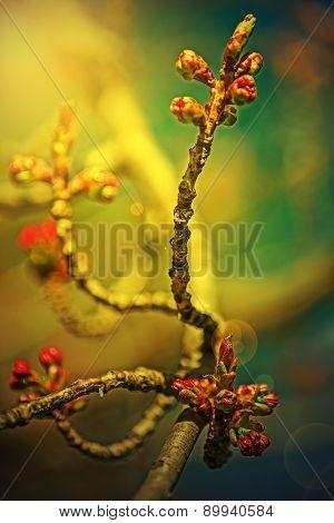 Spring Cherry Bud In Sunset Light  1