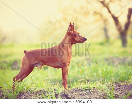Photo Of Young Miniature Pinscher