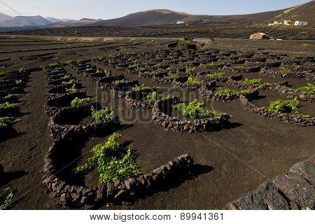 Cultivation Home Viticulture  Winery Lanzarote Vine Screw Grapes   Barrel