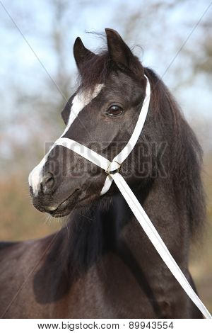 Black Welsh Mountain Pony