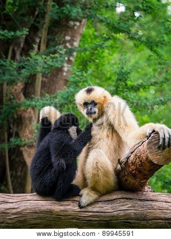 White Female Gibbon Breast Feeding Her Child