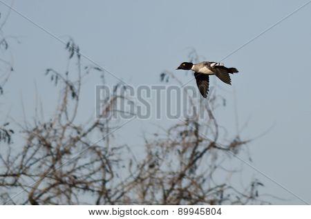 Common Goldeneye Flying Low Over The Marsh