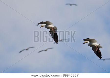 Pair Of Snow Geese Coming In For A Landing