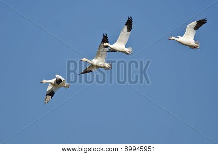 Four Snow Geese Flying In A Blue Sky